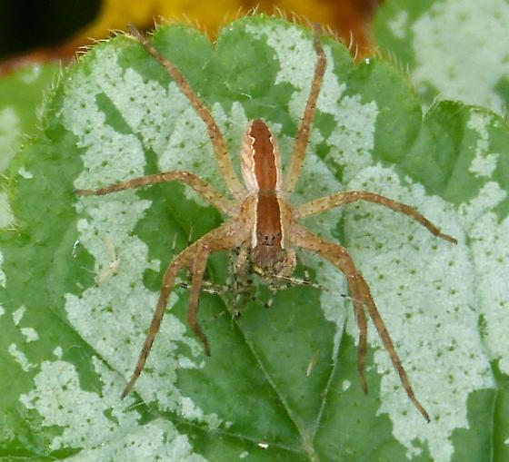 Spider eating spider? - Pisaurina mira