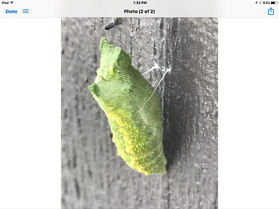 Insect or cocoon? - Papilio polyxenes