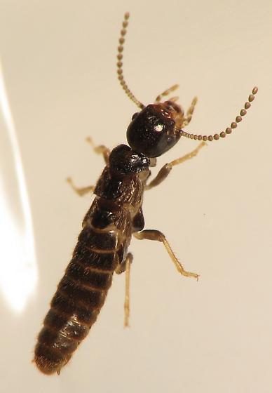 Subterranean Termite? - Reticulitermes
