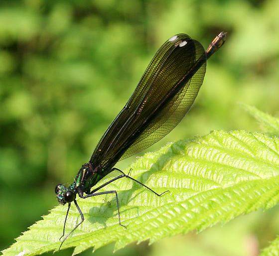Ebony Jewelwing (female) - Calopteryx maculata - female