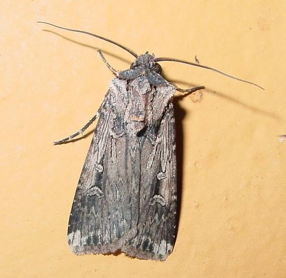 Dart Moth - Feltia subterranea
