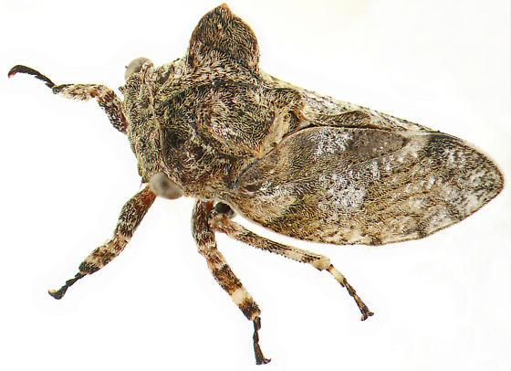 Microcentrus - Microcentrus perditus - female
