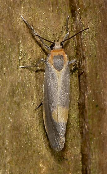 Lead-colored Lichen Moth - Cisthene plumbea