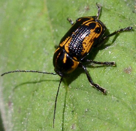 Black & Orange Bettle - Cryptocephalus castaneus