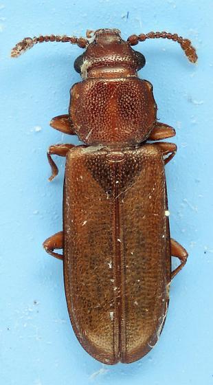 Pediacus fuscus
