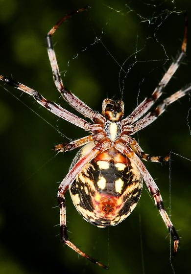 Female, Neoscona oaxacensis? - Neoscona oaxacensis - female