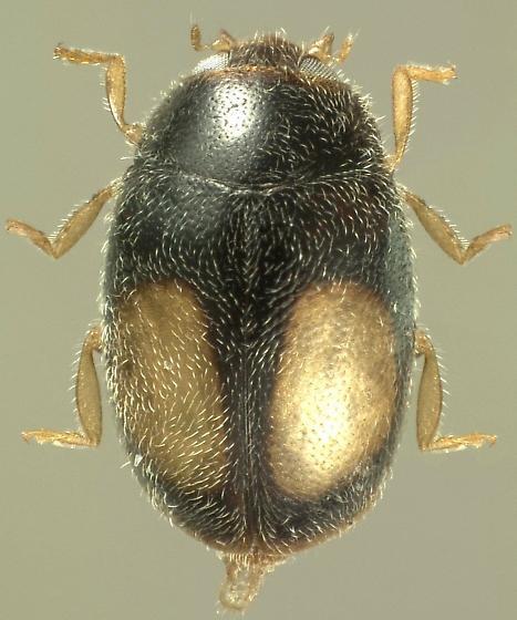 Nephus alyssae Golia and Golia - Nephus alyssae - female