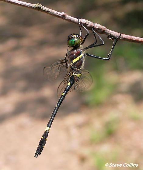 Allegheny River Cruiser - Macromia alleghaniensis - male