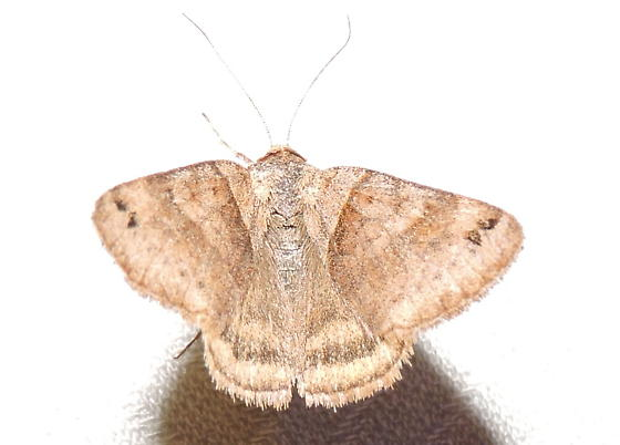 Caenurgina crassiuscula - Caenurgina crassiuscula