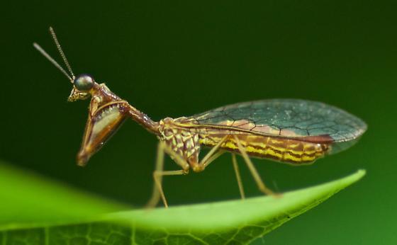 A mantidfly?  - Leptomantispa pulchella