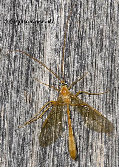 Colorful Wasp - Enicospilus purgatus