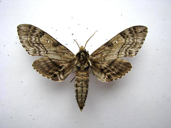 Waved Sphinx - Ceratomia undulosa