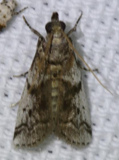 Amyelois transitella or Laetilia coccidivora?