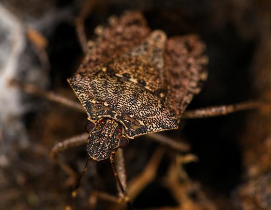 Stink Bug (Brochymena)? - Halyomorpha halys