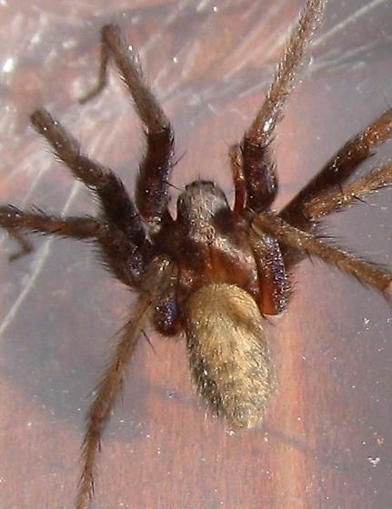 Spider In Eastern Idaho Tegenaria Domestica Bugguide Net