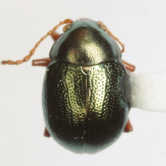 Brachypnoea rotundicollis (Schaeffer) - Brachypnoea rotundicollis