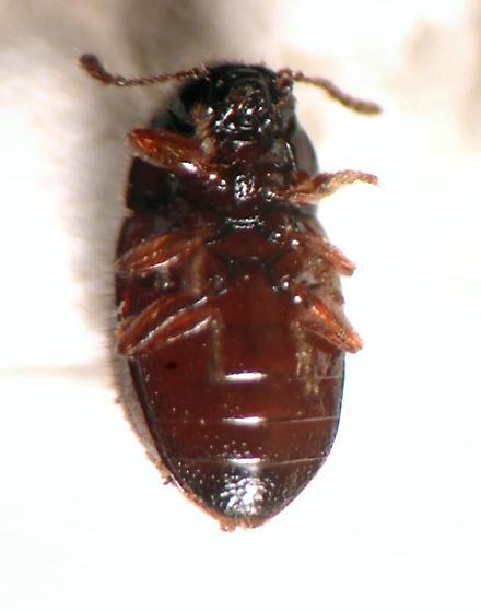 Byrrhidae ?? - Lioligus nitidus