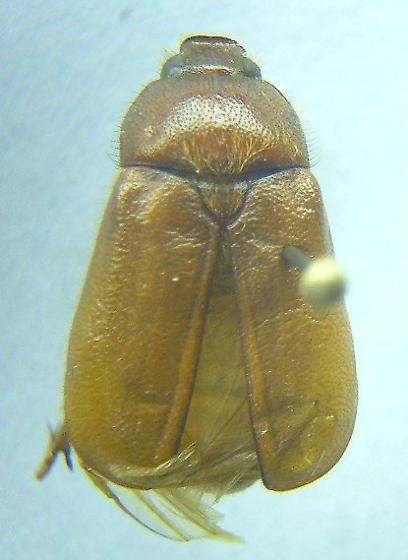 Phyllophaga crinita - male
