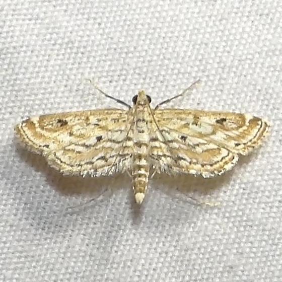Watermilfoil Leafcutter Moth - Hodges #4764 (Parapoynx allionealis) - Parapoynx allionealis