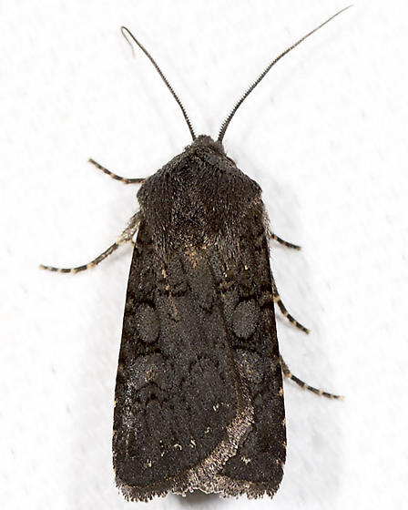 Fleece-winged Dart - Hodges#10803 - Euxoa velleripennis