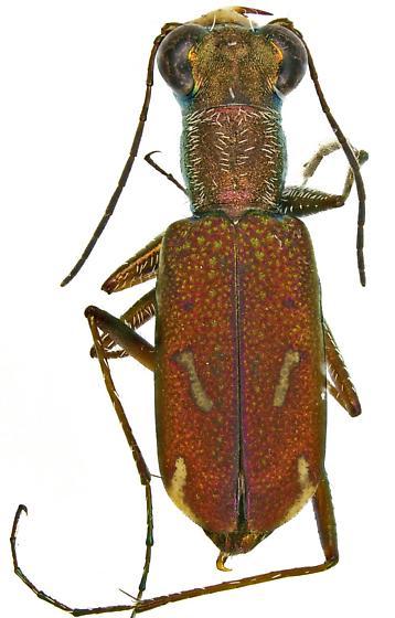 Sonoran Tiger Beetle? - Brasiella wickhami