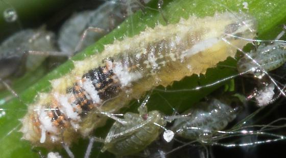 larva among aphids