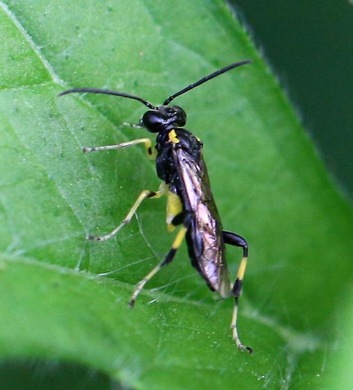 Tenthredinidae Macrophya bifasciata? 2