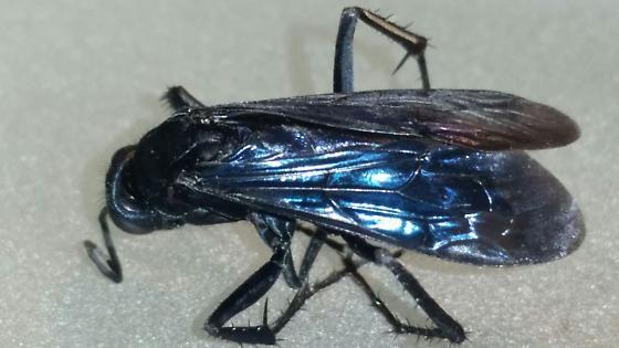 Hymenopteran - Anoplius aethiops