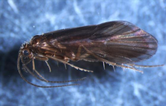 Anagapetus bernea - male