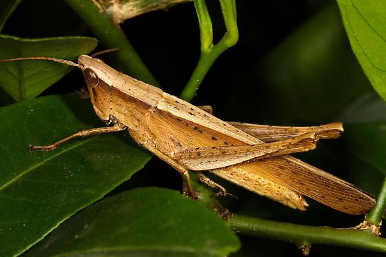 Acrididae or Tettigoniidae? - Metaleptea brevicornis - female