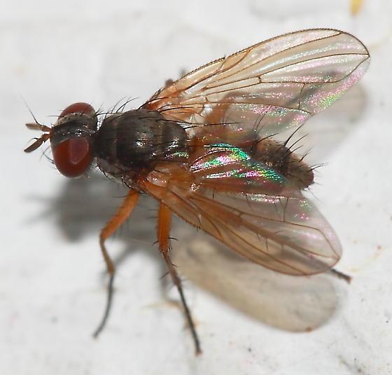 Fly - Angioneura