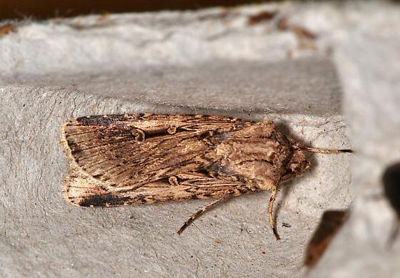 Unidentified moth - Noctuid - Feltia subterranea