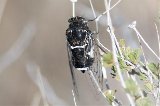 ABQ foot hills cicada - Cacama valvata