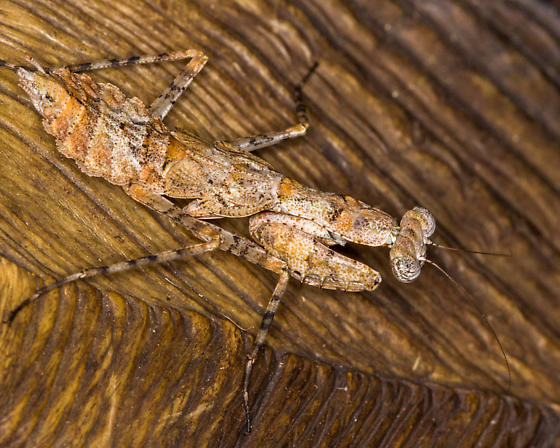 Mantid-like Bug??? - Gonatista grisea - female