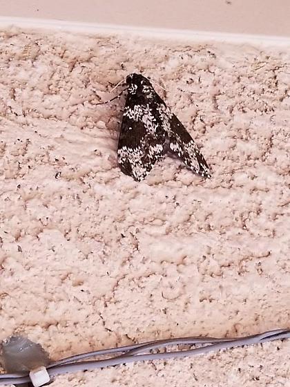Unknown moth - Manduca rustica