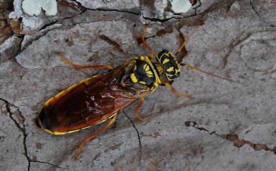 Sawfly - Acantholyda maculiventris