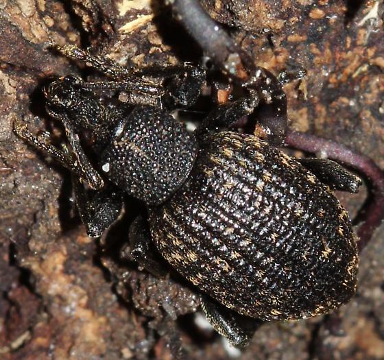 Curculionoidea - Otiorhynchus sulcatus