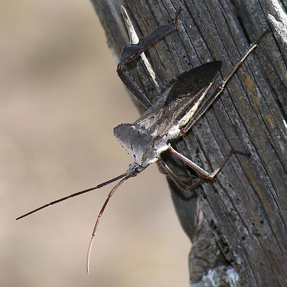 Need ID 2 - Acanthocephala declivis