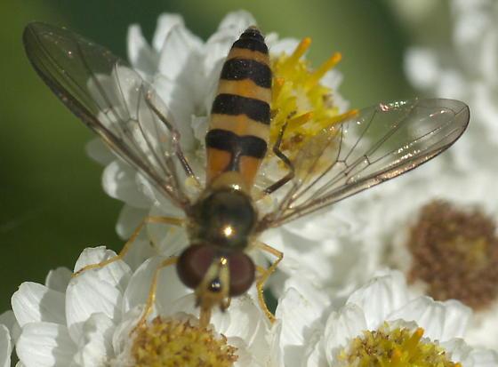 Striped syrphid fly - Meliscaeva cinctella