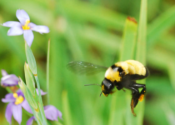 Behavior question: What's with the wings on Bombus sonorus? - Bombus sonorus - female