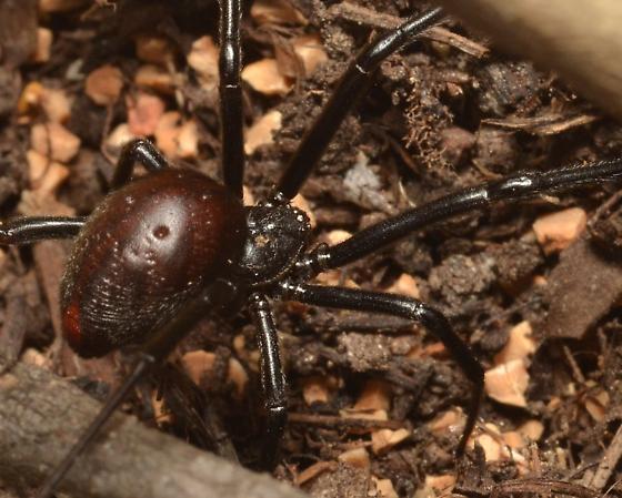 Latrodectus mactans? - Latrodectus hesperus - female
