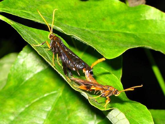 Copulating clearwing moths - Alcathoe caudata - male - female