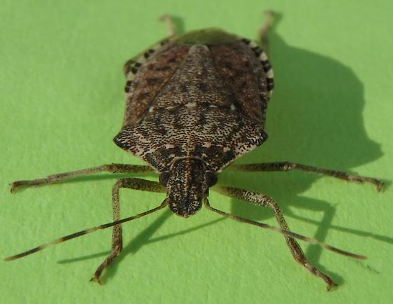 stink bug in house - Halyomorpha halys