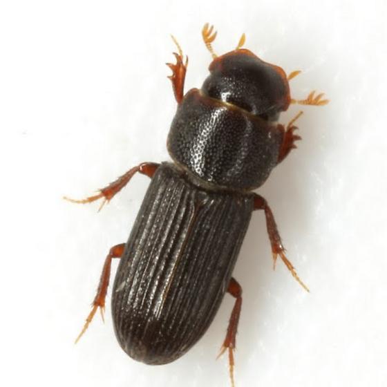 Ataenius gracilis (Melsheimer) - Ataenius gracilis