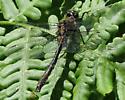 unidentified dragonfly11640 - Somatochlora kennedyi
