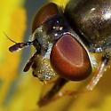 Syrphid Fly, female - Platycheirus - female