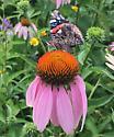 Butterfly on Echinacea  - Vanessa atalanta