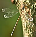Northern Spreadwings (Lestes disjunctcus) - Lestes - male