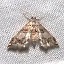 Oxyelophila callista - Hodges#4788 - Oxyelophila callista