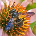 Bee and nursery chamber - Megachile xylocopoides